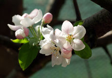 Flores de Apple en resorte Imagen de archivo