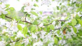 Flores de Apple en resorte almacen de video