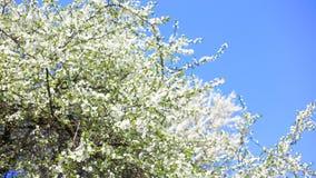 Flores de Apple en resorte metrajes