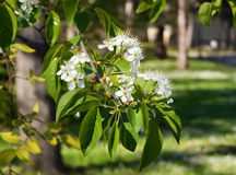 Flores de Apple Mola Fotos de Stock Royalty Free