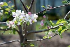 Flores de Apple na mola Foto de Stock