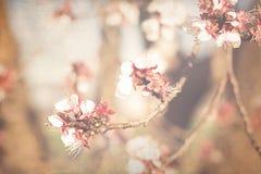 Flores de Apple na mola imagens de stock