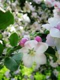 Flores de Apple fotos de stock