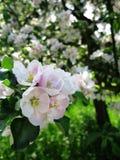 Flores de Apple foto de stock