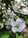Flores de Apple Foto de Stock Royalty Free