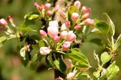 Flores de Apple no jardim imagem de stock royalty free
