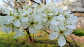 Flores de Apple para o fundo e a textura Imagens de Stock Royalty Free