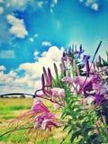 Flores de aranha (Cleome) Foto de Stock