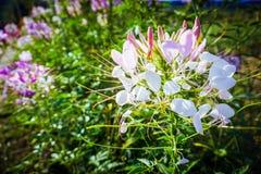 Flores de aranha no jardim fotografia de stock royalty free