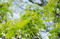 Flores de Ash Tree Foto de archivo libre de regalías