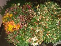 Flores de Astomeriya Imagen de archivo