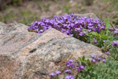 Flores de Aubrieta (Aubretia) Imágenes de archivo libres de regalías