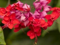 Flores de balão roxas e vermelhas macro foto de stock royalty free