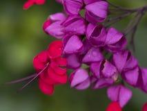 Flores de balão roxas e vermelhas macro imagens de stock