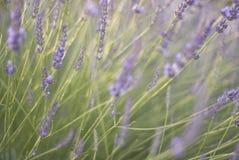 Flores de balanço da alfazema foto de stock