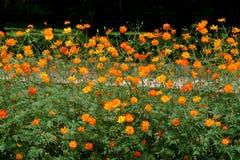 Flores de balanço do cosmos Imagens de Stock Royalty Free