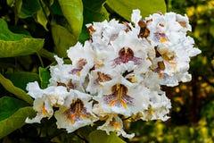 Flores de Bean Tree do indiano Foto de Stock Royalty Free