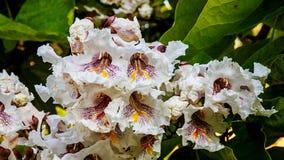 Flores de Bean Tree do indiano Imagens de Stock