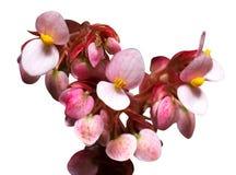 Flores de Begonia Closeup Fotografía de archivo libre de regalías