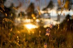 Flores de Bell azuis no sol O campo bonito do prado com wildflowers fecha-se acima fotos de stock royalty free