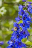 Flores de Bell con el abejorro en ellos Imagen de archivo