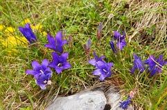 Flores de Bell nas montanhas Fotografia de Stock Royalty Free