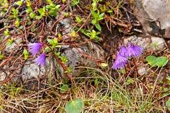 Flores de Bell nas montanhas Fotos de Stock Royalty Free