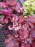 Flores de Bels corais Imagem de Stock Royalty Free
