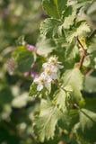 Flores de Blackberry Foto de archivo