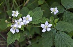 Flores de Blackberry Fotografía de archivo