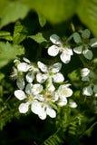 Flores de Blackberry Imagem de Stock Royalty Free