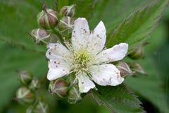 Flores de Blackberry Imagenes de archivo