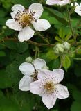 Flores de Blackberry Imagen de archivo