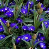 Flores de Blanda Gemengd de la anémona Imagen de archivo libre de regalías