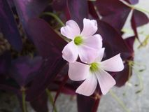 Flores de borboleta roxas Imagem de Stock