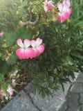 Flores de borboletas Imagem de Stock Royalty Free