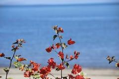 Flores de Bouganvillea Imagens de Stock
