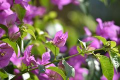 Flores de Bougenville geralmente branco ou roxo, floresce e prospera em uma paridade do p?ssaro fotos de stock royalty free