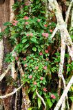 Flores de Bougenville que crescem nas árvores imagens de stock royalty free