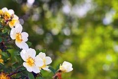 Flores de Brier com copyspace imagens de stock royalty free