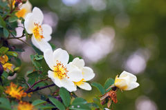 Flores de Brier com copyspace fotos de stock