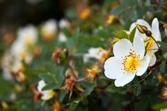 Flores de Brier com copyspace imagem de stock