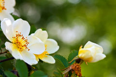Flores de Brier com copyspace imagem de stock royalty free