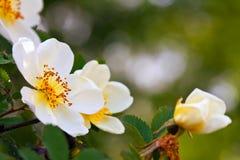 Flores de Brier com espaço da cópia imagens de stock