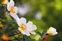 Flores de Brier contra o fundo imagens de stock royalty free