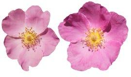 Flores de Brier em um fundo branco Flores cor-de-rosa isoladas fotografia de stock royalty free