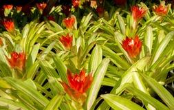 Flores de Bromeliad Imágenes de archivo libres de regalías