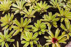 Flores de Bromeliad Imagen de archivo