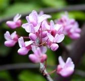 Flores de brotamento Foto de Stock Royalty Free