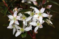 Flores de Buchu (crenulata de Agathosma), una medicina herbaria popular de Suráfrica Fotografía de archivo